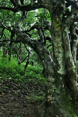 The Grandparents - Ancient Tea Trees - Nannuo Mountain, Yunnan
