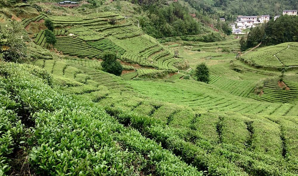 Fields of tea leaves near Yichang