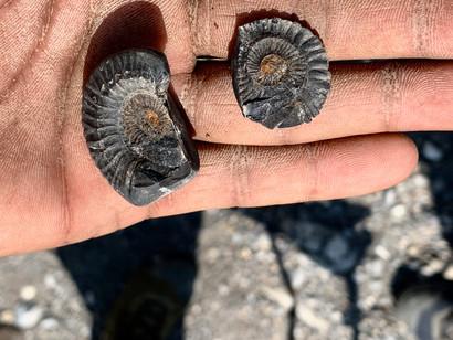Ammonites - Tangye