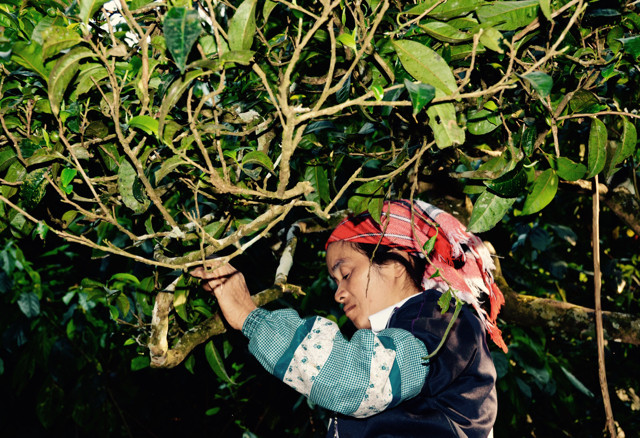 Taking the term 'single origin' to another level, there are examples in the Puerh world where there is a limited edition tea that is sourced and harvested from one single tree or bush. Expensive, often fake, but entirely divine if one can find an authentic offering.