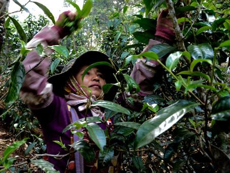 Pu erh Tea and its Precious Pickers