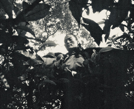 Tea Tree Pluck - Yunnan