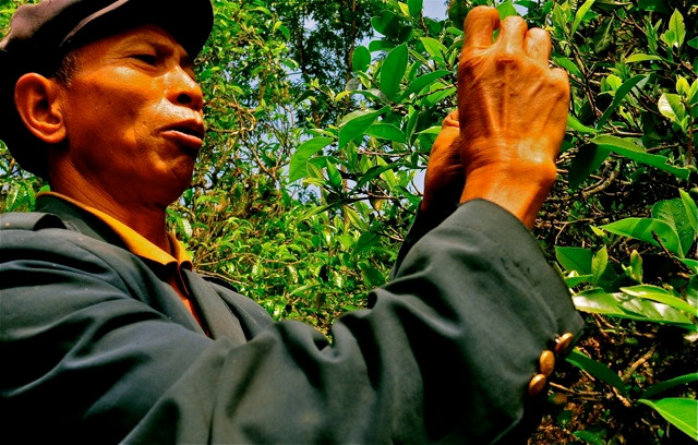 A Pulang elder looks at a leaf on an ancient tea tree and takes in far more information than anyone can know