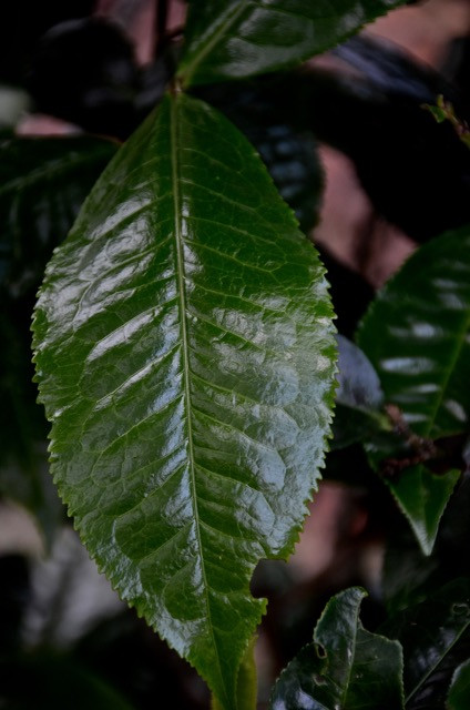 A massive example of the Yunnan Big Leaf species (Puerh) upon the arm of an ancient tree.