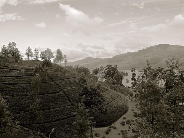 Sri Lanka Tea Fields