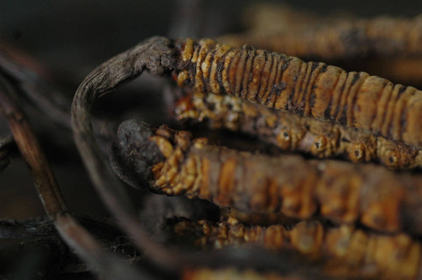 The 'Worm' (Caterpillar Fungus) - Tibet