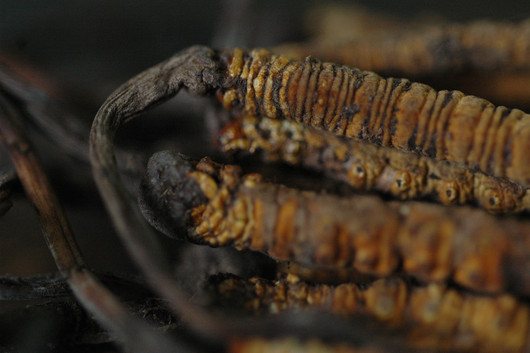 The 'Worm' (Caterpillar Fungus) - Tibet