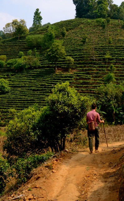 Marco strolls through one of the countless tea hills that we variously call home