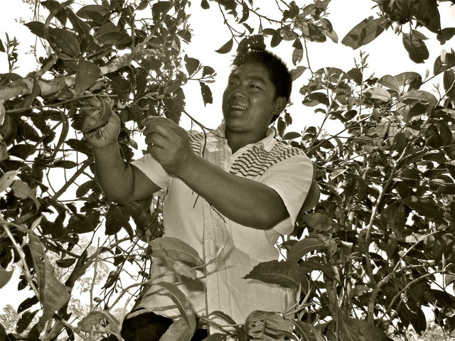 Dafa in action in one of his ancient tea trees