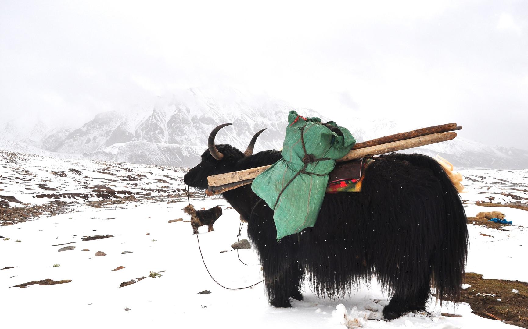 Yak Tales - Amne Machin, Qinghai