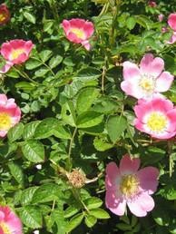 Dog-Rose-(Rosa-Canina)-Full-Hedge.jpg