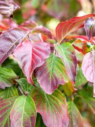 twelve-species-dogwood-trees-shrubs-subs