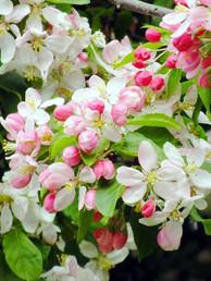 Crab-Apple-(Malus-Sylvestris)-Flowers-an