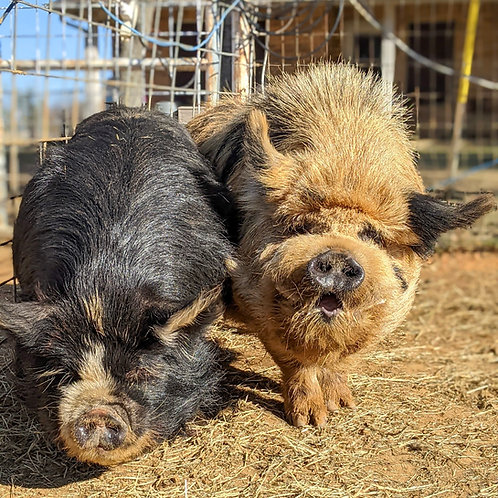 "Halbert Farm Jenny 6 ""Kunai""(Dorothy) & KKP Boris 9 ""Uno"" Spring Litter"