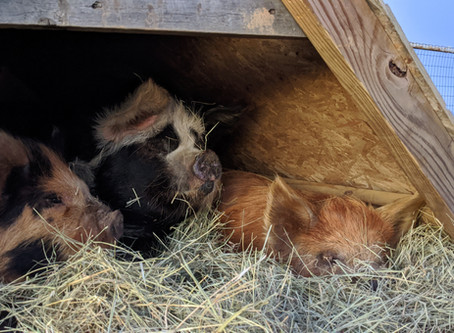 Shelters for Kunekune Pigs