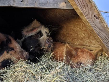 Shelters for Kunekune Pigs