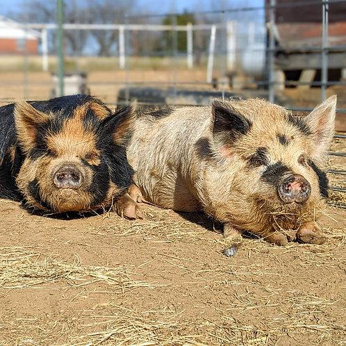 "Halbert Farm Jenny  1 ""Nugget"" & LDF Tuahuru 1 ""Corbin"" Litter"