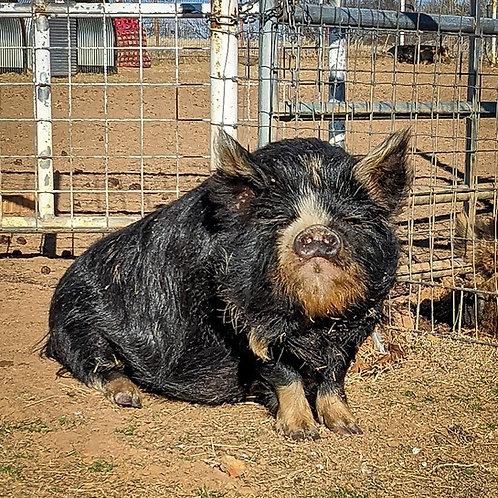 """""""Kunai"""" (Dorothy) - Halbert Farm Jenny 6"""