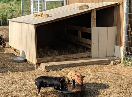 Farrowing Pens for Kunekune Pigs