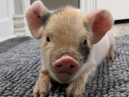 Mace & Corbin's Piglets Have Arrived!