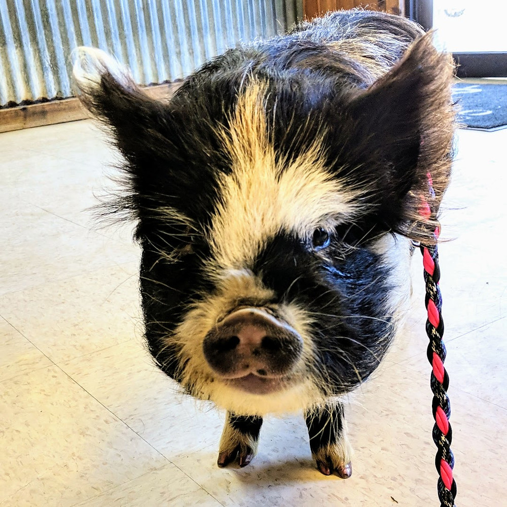 Piglet Ripey doesn't feel well