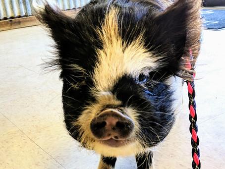 Spay & Neuter your Pet Pigs