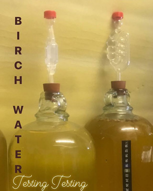 Our birch wine is nearly finished fermen