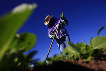 Migrant Farm Worker Mexico Arizona Reute