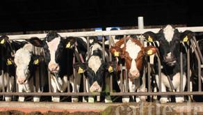 92 Milchkühe im Durchschnitt!