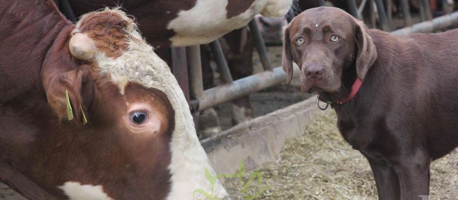 420 Kühe geben Milch und Gas!