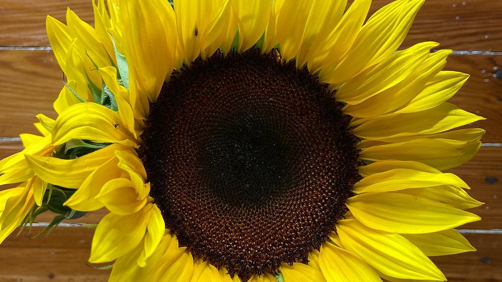 Sunflower 5 Stems x Bunch