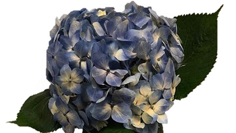Blue Premium Designer Hydrangea