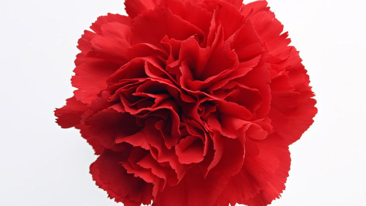 Carnations Bunch x 25 stems