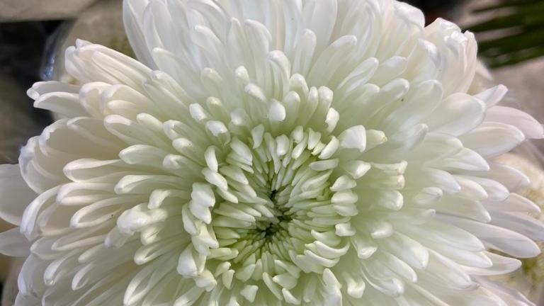 Cremon White bunch x 10 stems
