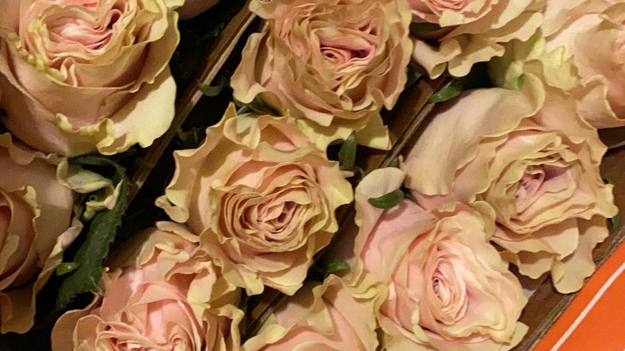 Roses Pink special (Frutteto) 100 Stems x Box
