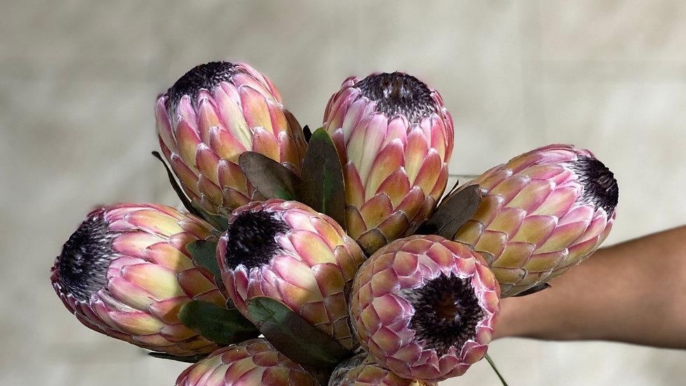 Pink Ice Protea