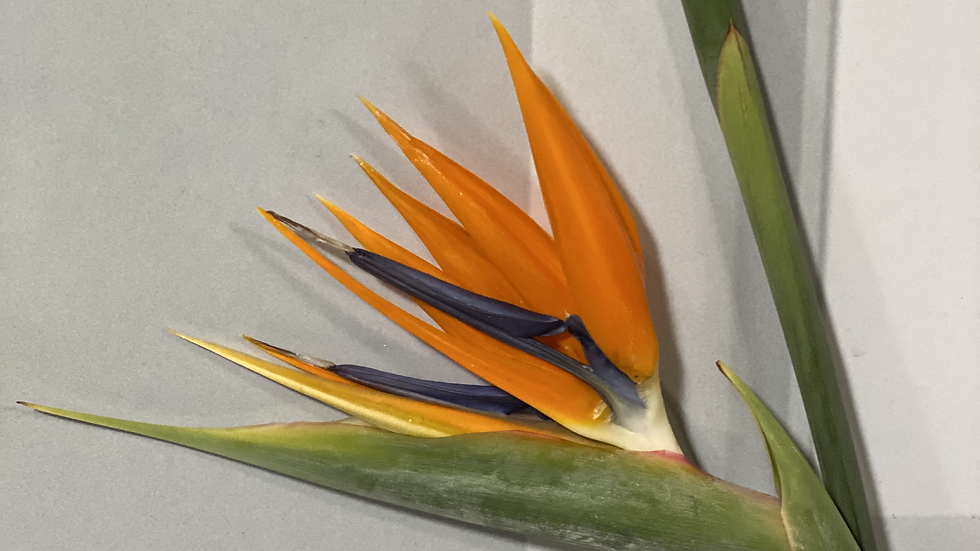 Birds of Paradise Per Bunch