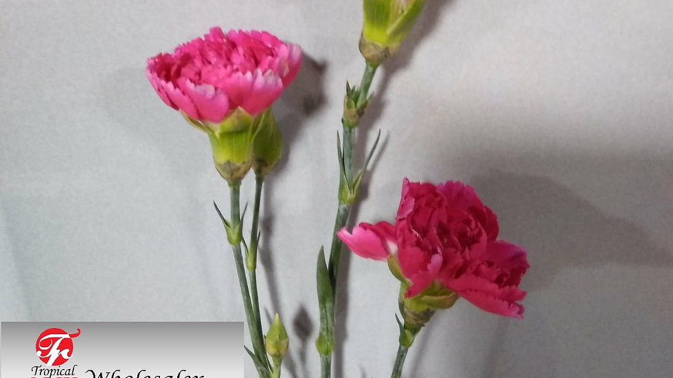 Mini Carnation 10 stems x Bunch