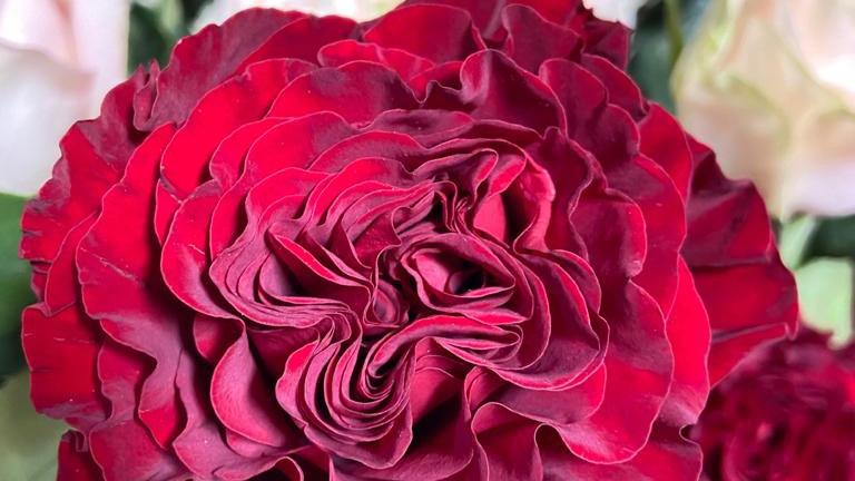 Roses Garden Roses  25 stems x Bunch