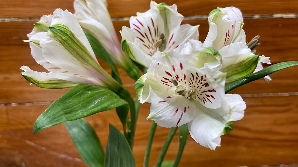 Alstroemeria 100 stems x Box