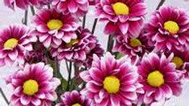 Pompon Daisy 10 stems x Bunch