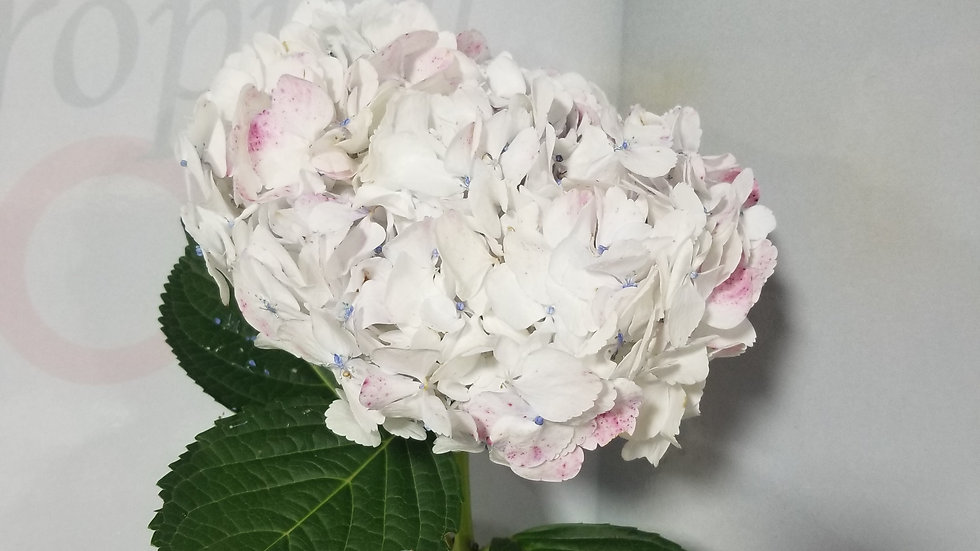 Hydrangea Antique Rose 20 Stems x Box
