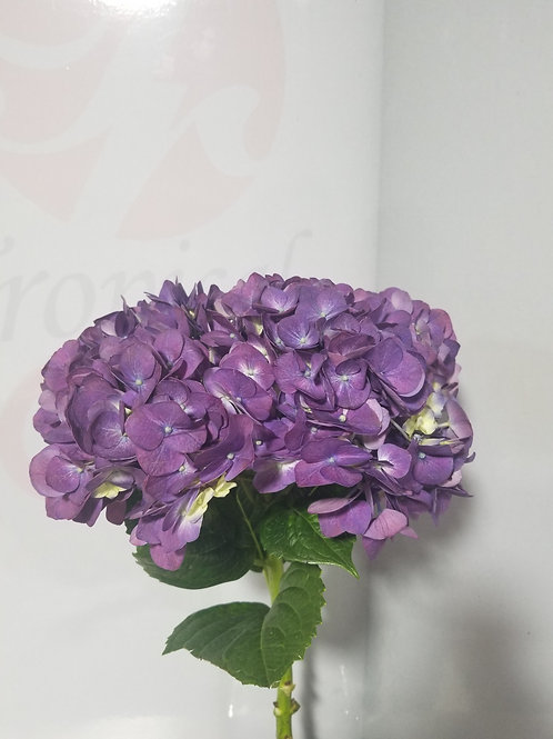 Real Purple Hydrangea