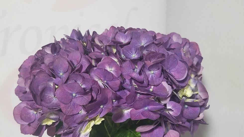 Hydrangea Real Purple 20 Stems x Box