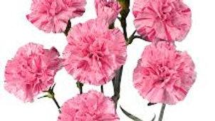 Mini Carnation 100 stems x Box