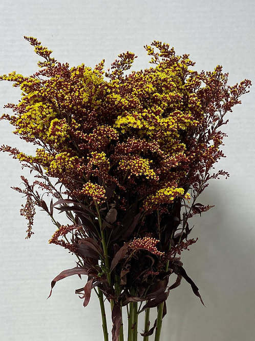 Dyed Aster Solidago