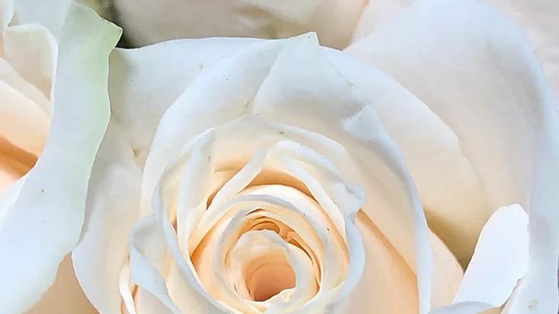 Roses White 100 Stems x Box