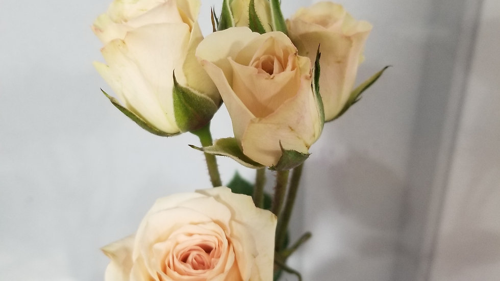 Spray Roses 10 stems x Bunch