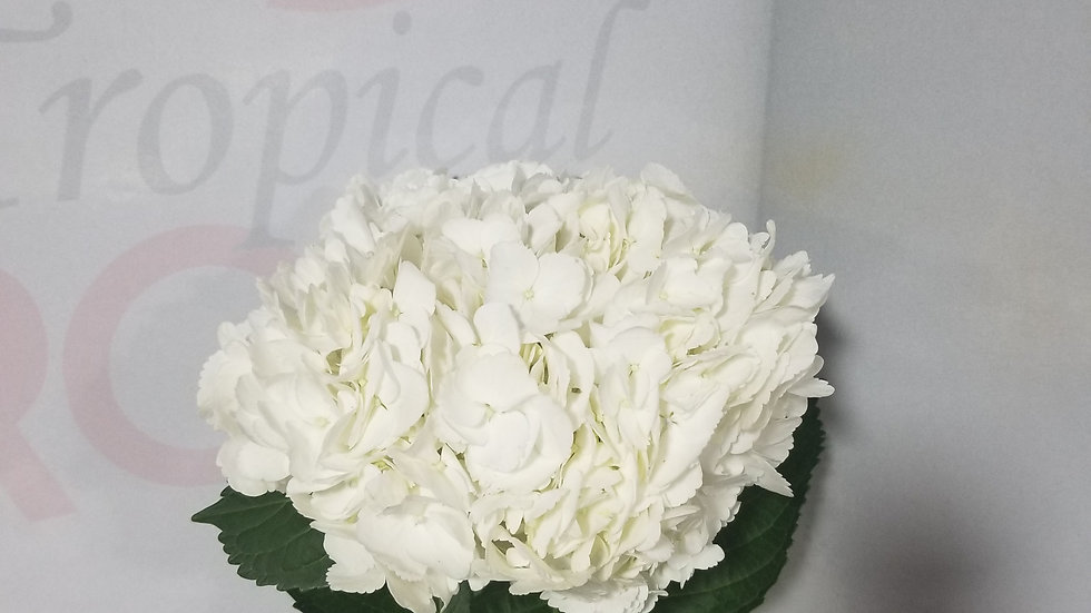 Hydrangea White Select Bunch x 5 stems