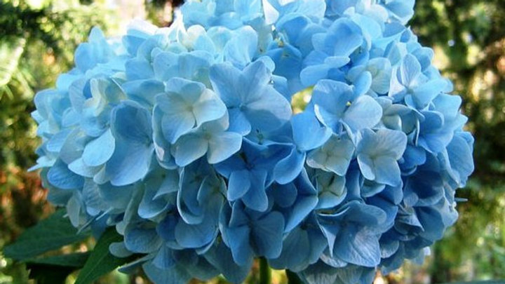 Hydrangea Blue Select 40 Stems x Box